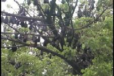 Kalong